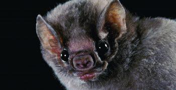 吸血蝙蝠餐桌上的新菜色:人血!但其實牠們也是萬不得已?──2017搞笑諾貝爾營養學獎