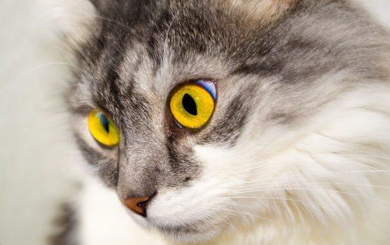 貓也有眼白,但跟人相比比例上小很多。