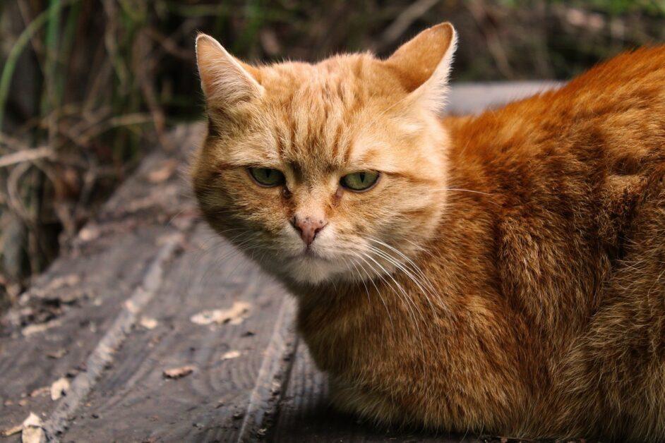 原來貓咪有表情,只是鏟屎官看不懂? - PanSci 泛科學