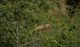 從「棄養」到「私獵」——入侵種綠鬣蜥的問題始末